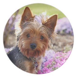 Yorkshire Terrier dog beautiful photo dish, plate