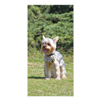 Yorkshire Terrier dog photo card, gift idea Photo Card