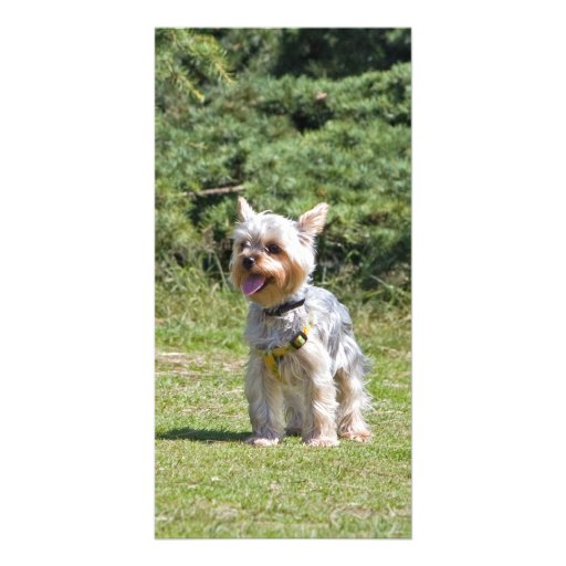 Yorkshire Terrier dog photo card, gift idea