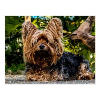 Yorkshire Terrier dog Postcard
