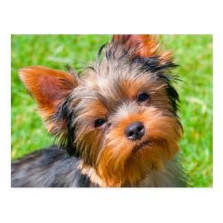 Yorkshire Terrier looking up Postcard
