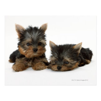 Yorkshire Terrier Postcard