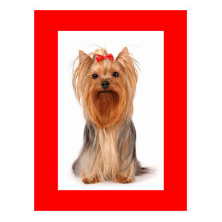 Yorkshire Terrier Puppy Dog Blank Red Postcard