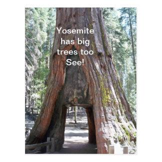 Yosemite has Big Trees Too  Postcard