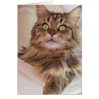 You have my attention! - Maine Coon cat card