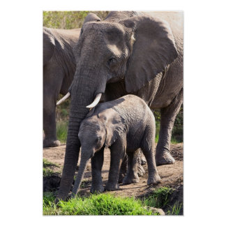 Young African Elephant With Baby Poster