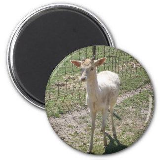 Young Albino Deer Magnet