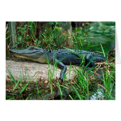 Young Alligator Greeting Cards