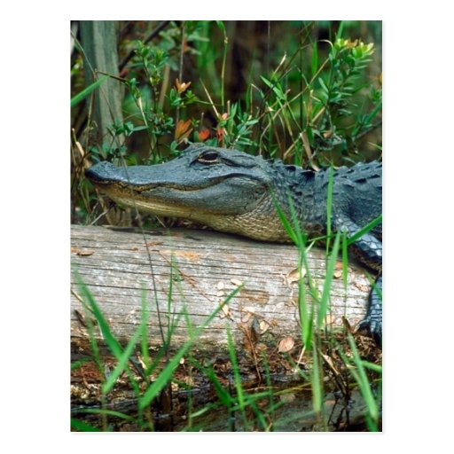 Young Alligator Post Card
