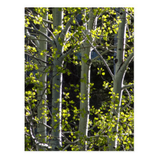 Young Aspen Trees Postcard