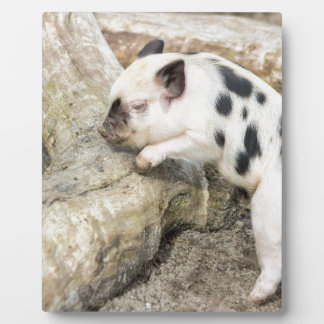 Young black and white piglet at tree trunk display plaques