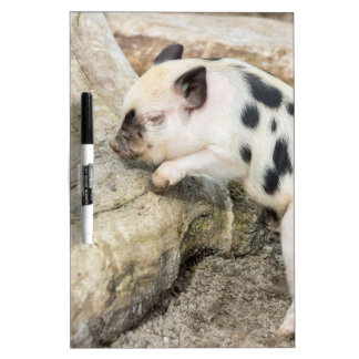 Young black and white piglet at tree trunk dry erase board