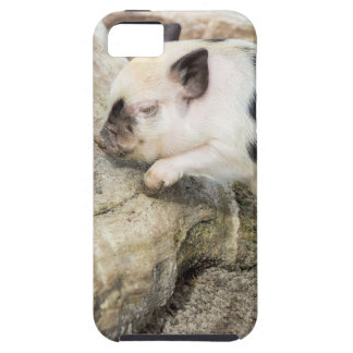 Young black and white piglet at tree trunk iPhone 5 case