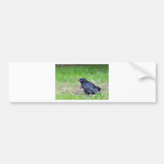 Young black crow sitting in green grass bumper sticker