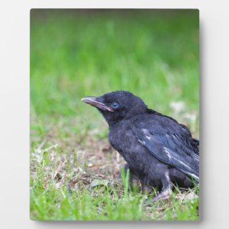 Young black crow sitting in green grass display plaque