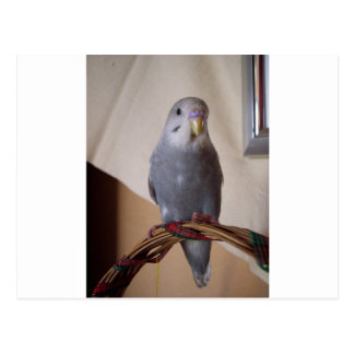 young blue budgie postcard
