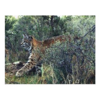 young bobcat, central Oregon Postcard