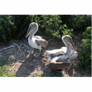 Young brown pelicans acrylic cut outs