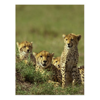 Young Cheetah Group Postcard