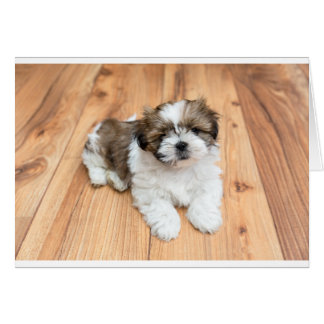 Young Chi Chu dog lying on parquet floor Card