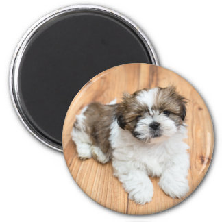 Young Chi Chu dog lying on parquet floor Magnet
