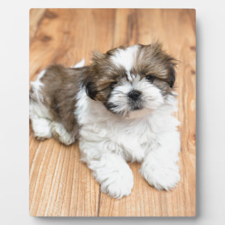 Young Chi Chu dog lying on parquet floor Plaques