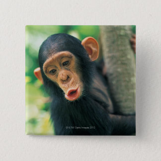 Young Chimpanzee (Pan troglodytes) 15 Cm Square Badge