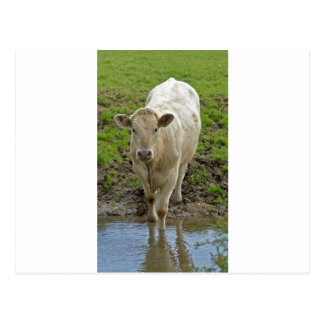 Young Cream Bull at water hole Post Card