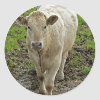 Young Cream Bull at water hole Round Sticker