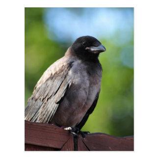 Young Crow Postcard