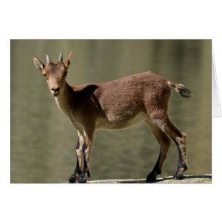 Young female wild goat, Iberian ibex, Spain Card