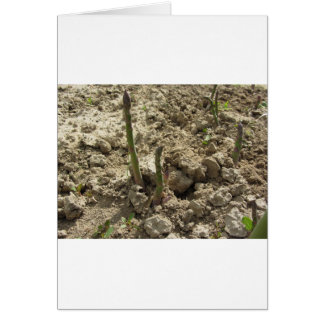 Young green asparagus sprouting from the ground card