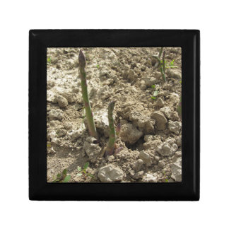 Young green asparagus sprouting from the ground gift box