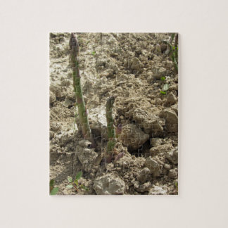 Young green asparagus sprouting from the ground jigsaw puzzle