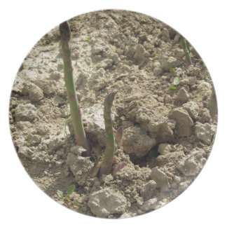 Young green asparagus sprouting from the ground plate