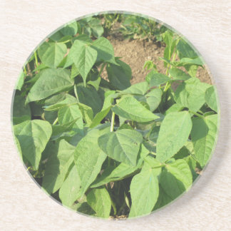 Young green beans plants in rows in the garden drink coaster