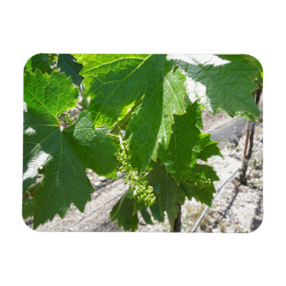Young Green Grapes on the Vine in Spring Rectangular Photo Magnet
