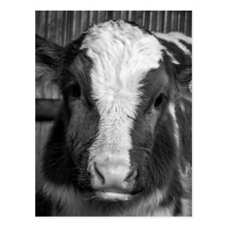 Young Holstein Dairy Bull Calf in Black and White Postcard