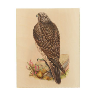 Young Iceland Falcon Gould Birds of Great Britain Wood Canvases