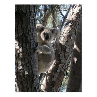 Young Koala, Geoffrey Bay, Magnetic Island Postcard