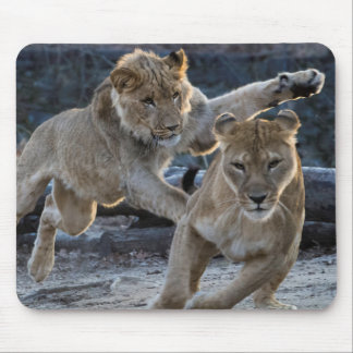 Young Lion Plays With Mom Mouse Pad