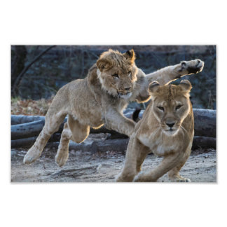 Young Lion Plays With Mom Photo Print