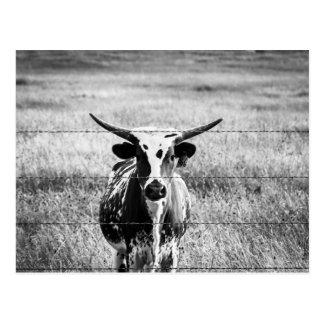 Young Longhorn Postcard