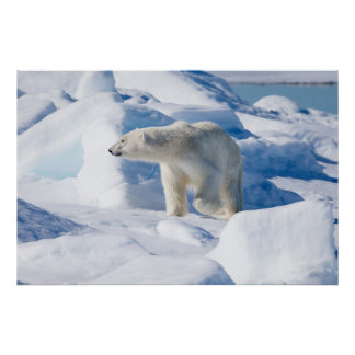 Young Male Polar Bear Poster
