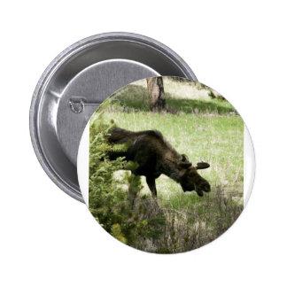 Young moose walking pin