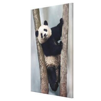Young Panda climbing a tree, China Canvas Print