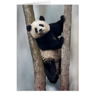 Young Panda climbing a tree, China Card