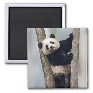 Young Panda climbing a tree, China Magnet