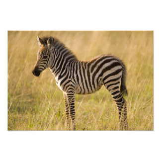 Young Plains Zebra Equus quagga) in grass, Photo Print