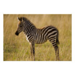 Young Plains Zebra Equus quagga) in grass, Poster